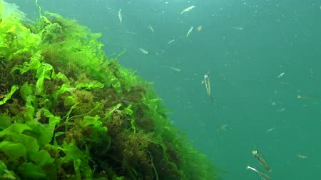 csorda : Black Sea big-scale sand smelt (Atherina pontica) among the seaweed. Fish of the Black Sea Stock mozgókép