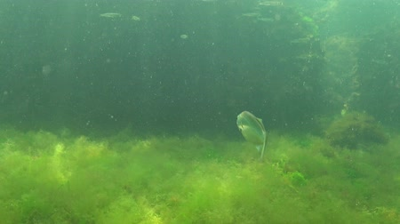palaemon : Shrimp Baltic prawn (Palaemon adspersus) in thickets of green algae. Black sea Stock Footage