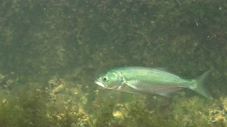 bluefish : The bluefish (Pomatomus saltatrix). Predatory fish, the Black Sea. Young fish hunt near the shore
