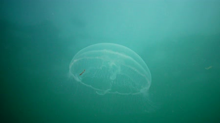 seahorse : Aurelia aurita (moon jelly, moon jellyfish, common jellyfish, or saucer jelly). A jellyfish floating in the water column. Black sea Stock Footage