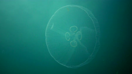 fincan tabağı : Aurelia aurita (moon jelly, moon jellyfish, common jellyfish, or saucer jelly). A jellyfish floating in the water column. Black sea Stok Video