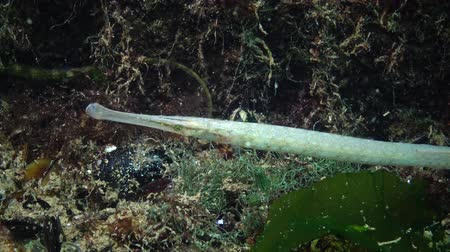 black sea fauna : Yellow-green female Broad-nosed pipefish (Syngnathus typhle) in the thickets of seaweed
