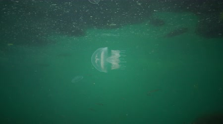zooloji : A young specimen of jellyfish in the Black Sea, Rhizostoma pulmo, floating in the water column. A scyphomedusa in the family Rhizostomatidae Stok Video