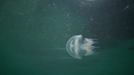 rhizostoma : A young specimen of jellyfish in the Black Sea, Rhizostoma pulmo, floating in the water column. A scyphomedusa in the family Rhizostomatidae Stock Footage