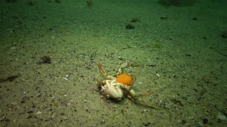 homar : Swimming crab (Macropipus holsatus) - Black Sea.