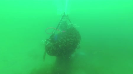 bivalve : Diver tows a bag of shellfish, the Black Sea mussel. Underwater video. Black sea Stock Footage
