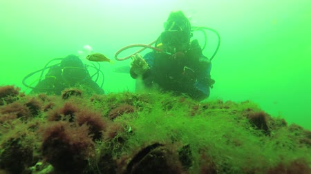 ökológiai : Divers consider the nest of the Black Sea fish Gray wrasse (Symphodus cinereus). Underwater video. Black sea Stock mozgókép
