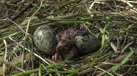 tern : Bird nest Whiskered tern (Chlidonias hybrida) hatched a chick, Lake Kugurluy, Ukraine Stock Footage