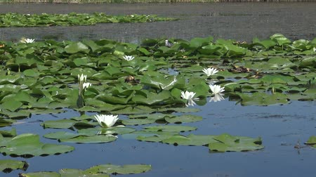 angiospermas : Beautiful white water lily (Nymphaea alba), Kugurluy, Ukraine. A plant listed in the Red Book of Ukraine