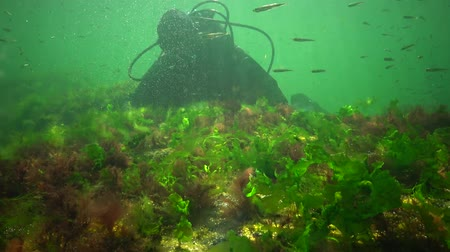 algi : Photosynthesis in the sea, A diver touches oxygen bubbles synthesized by algae. Green and red algae on underwater rocks (Enteromorpha, Ulva, Ceramium, Polisiphonia). Gulf of Odessa, Black Sea Wideo