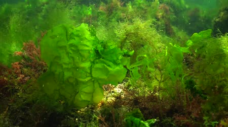 合成 : Photosynthesis in the sea, underwater landscape. Green, red and brown algae on underwater rocks (Enteromorpha, Ulva, Ceramium, Polisiphonia). Gulf of Odessa, Black Sea