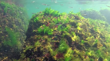alga : Photosynthesis in the sea, A diver touches oxygen bubbles synthesized by algae. Green and red algae on underwater rocks (Enteromorpha, Ulva, Ceramium, Polisiphonia). Gulf of Odessa, Black Sea Stock Footage