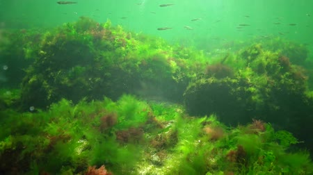 algler : Photosynthesis in the sea, underwater landscape, fish Atherina pontica. Green, red and brown algae on underwater rocks (Enteromorpha, Ulva, Ceramium, Polisiphonia). Gulf of Odessa, Black Sea Stok Video