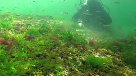 oxidation : Photosynthesis in the sea, underwater landscape, fish Atherina pontica. Green, red and brown algae on underwater rocks (Enteromorpha, Ulva, Ceramium, Polisiphonia). Gulf of Odessa, Black Sea Stock Footage
