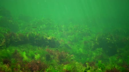 ekolojik : Photosynthesis in the sea, underwater landscape, fish Atherina pontica. Green, red and brown algae on underwater rocks (Enteromorpha, Ulva, Ceramium, Polisiphonia). Gulf of Odessa, Black Sea Stok Video
