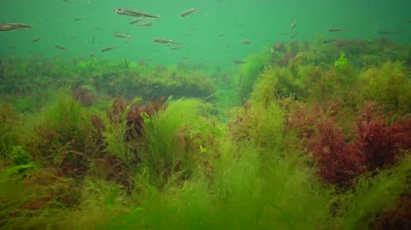 Photosynthesis in the sea, underwater landscape, fish Atherina pontica. Green, red and brown algae on underwater rocks (Enteromorpha, Ulva, Ceramium, Polisiphonia). Gulf of Odessa, Black Sea Vídeos