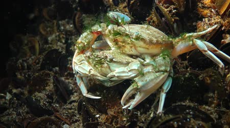 omurgasız : Reproduction of crabs (Liocarcinus holsatus). Male and female before mating. Black sea