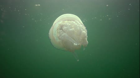 anemon : (Rhizostoma pulmo), commonly known as the jellyfish Black sea