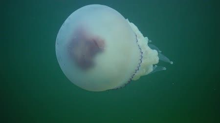 omurgasız : (Rhizostoma pulmo), commonly known as the jellyfish Black sea