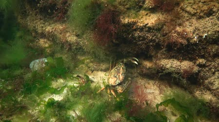 kerevit : Nutrition of Green crab or Shore crab (Carcinus maenas, Carcinus aestuarii). Black sea