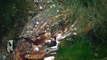 Nutrition of Green crab or Shore crab (Carcinus maenas, Carcinus aestuarii), eating another species of crab that caught at the bottom. Black sea Stockvideo
