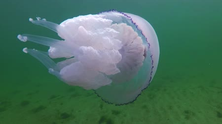 biyolojik : (Rhizostoma pulmo), commonly known as the jellyfish Black sea