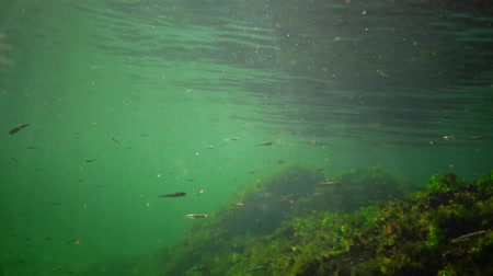 omurgasız : Numerous schools of Atherina pontica fish in the water column. Black Sea, Odessa Bay Stok Video