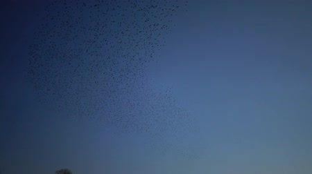 starling : A flock of black starling birds (Sturnus vulgaris) flies in the sky, gathering various figures in the sky Stock Footage