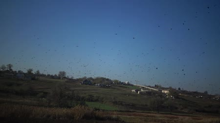 göç : A flock of black starling birds (Sturnus vulgaris) flies in the sky, gathering various figures in the sky Stok Video