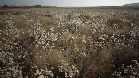 çimenli : Tiligulsky estuary, a river of a dried-up plant in autumn, a tripod of Tripolium pannonicum. Nature of Ukraine