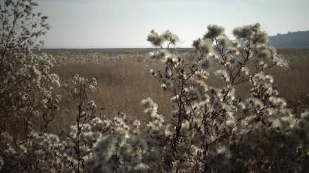 плодоношение : Tiligulsky estuary, a river of a dried-up plant in autumn, a tripod of Tripolium pannonicum. Nature of Ukraine