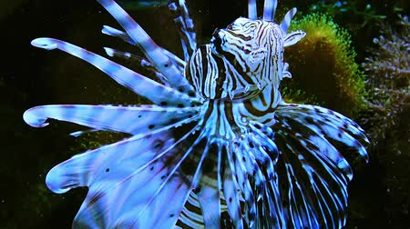 Dangerous poisonous lion fish in a marine aquarium Vídeos