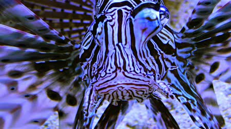 deep learning : Dangerous poisonous lion fish in a marine aquarium Stock Footage