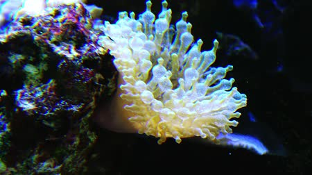 Great sea anemone in the aquarium. Underwater world.