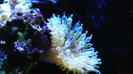 predatório : Great sea anemone in the aquarium. Underwater world.