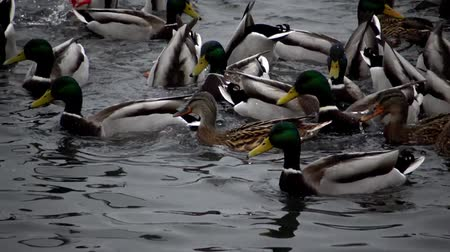 Birds of Ukraine. Swans, gulls and ducks - wintering waterfowl in the Black Sea Stockvideo