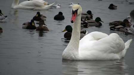 авес : Birds of Ukraine. Swans, gulls and ducks - wintering waterfowl in the Black Sea Стоковые видеозаписи