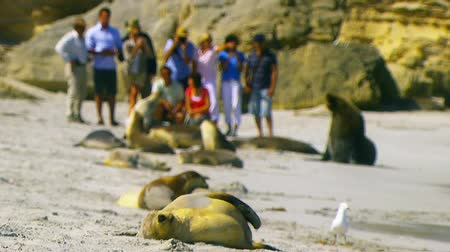 összeállít : Sea-lions on beach with tourists and people in close proximity