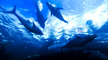 fishermen : Romantic Couple Swimming and Scuba Diving  snorkeling on vacation under water with bluefin tuna farm in tuna nets (tuna rings) in deep blue ocean areas.