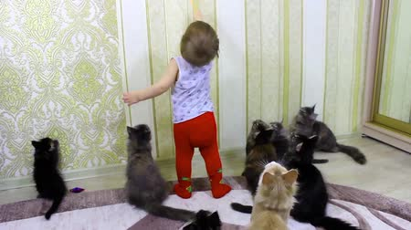 british cat : The child plays with cheerful seals Maine Coons