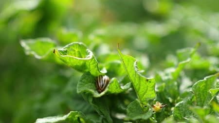 wrecker : Colorado potato beetle eats potato leaves Stock Footage