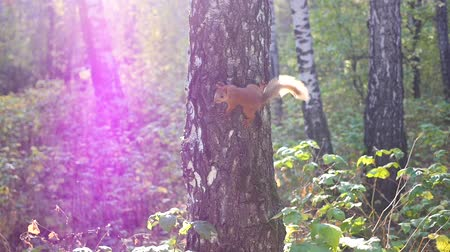sciurus vulgaris : mischievous squirrel jumps on a tree and waving his tail