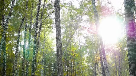 poeta : birch forest in sunlight