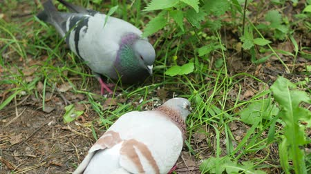 rock dove : Pigeons pecking grain from the ground in summer Park