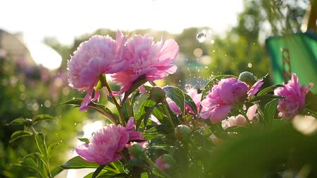 rose anemone : Rain falls on the beautiful flowers peonies. Summer sunlight. Garden, nature Stock Footage