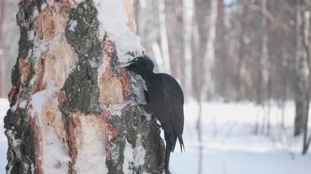 pinus : The bird is a Woodpecker sitting on the tree and beak knocks on wood. Winter forest.