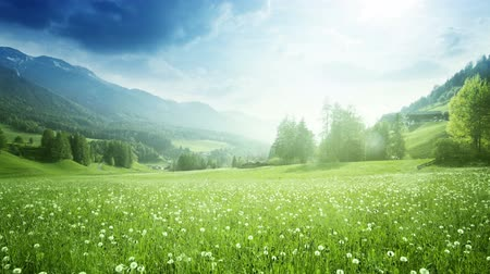 Field of spring dandelions in Dolomites, South Tyrol, Italy Filmati Stock