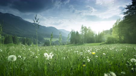 dolomiti : Field of spring dandelions in Dolomites, South Tyrol, Italy Stock Footage