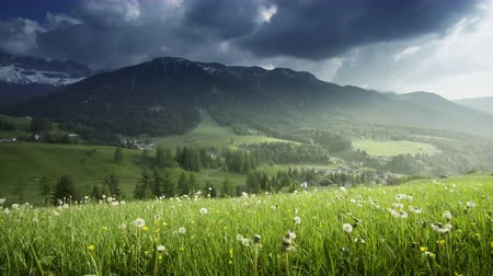 dolomit : field of spring dandelions in Dolomites, South Tyrol, Italy Stok Video