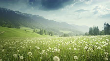 dolomit : field of spring dandelions in Dolomites,South Tyrol, Italy